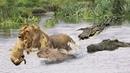 CROCODILE HUNTING THREE LION CUBS CROSSING RIVER   Battles Of King Lion Vs Crocodile