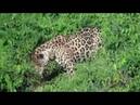 Ягуар поймал крокодила Jaguar caught the crocodile
