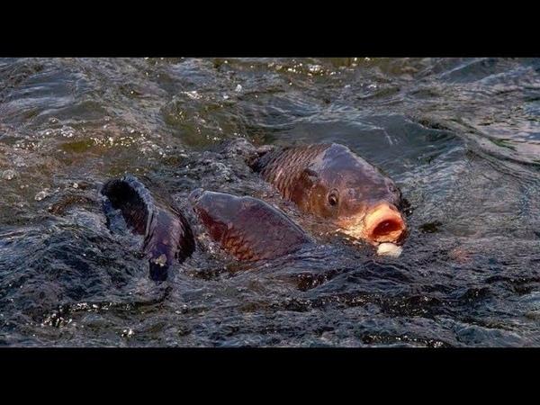 Садовый пруд, часть 5. Выращивание карпа, вечерний осмотр рыбы!