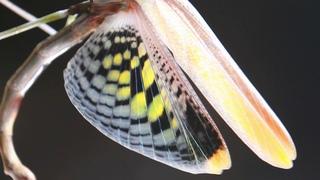A very long mantis (Heterochaeta orientalis)