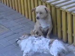 Преданность Собака не покидала погибшего друга всю ночь