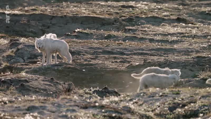 Le loup arctique-02