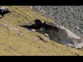 Golden eagle hunts chamois