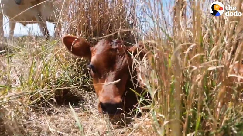 Cow Mom Hides Her Baby From People The Dodo