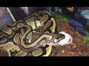Ball Python VS Adult Mouse (WARNING: LIVE FEEDING) DON'T WATCH IF YOU LOVE RODENTS!