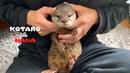 カワウソコタローとハナ かわいい赤ちゃん時代のハナスペシャル Otter Ko