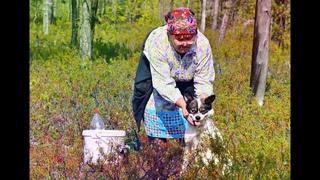 Ханты сбор дикоросов. Женщины собирают ягоду