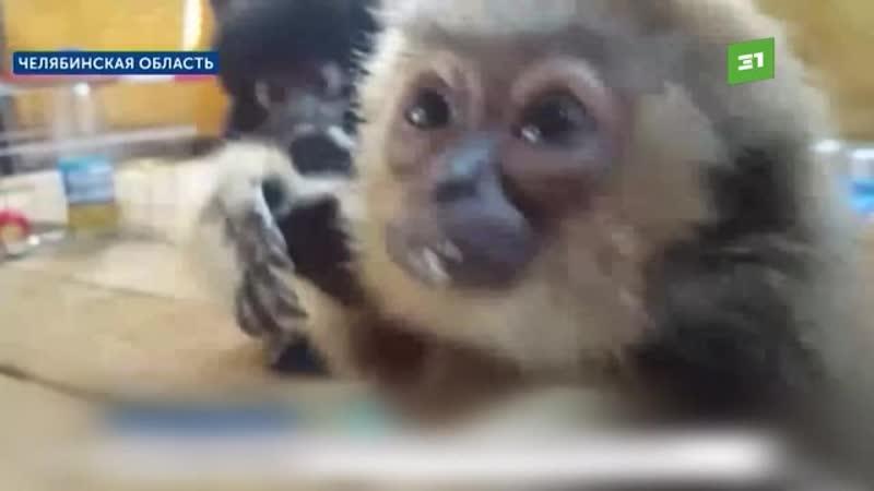 Челябинка пыталась перевезти через границу 6 обезьянок под видом кошек смотреть онлайн без регистрации