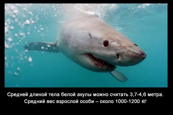 валтея - Интересные факты о акулах / Хищники морей.(Видео. Фото) TT4ylrgxay0
