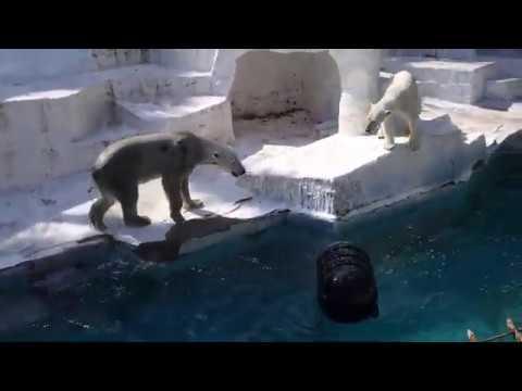 恋の季節はもう終わった感じのゴーゴ&イッちゃん Шилка 同居29日目  2020 03024 天王寺動物園のホッキョクグマ