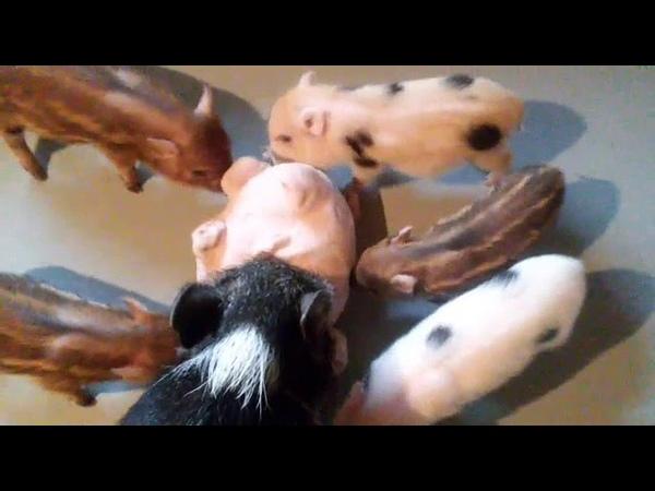 Детки играют 🐷😁🐽 Минипиги, минипиг, микропиги, микропиг, minipig, micropig, свинки, питомник, Рязань