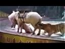Leão e Tigre atacando Cavalo - inscreva-se no canal