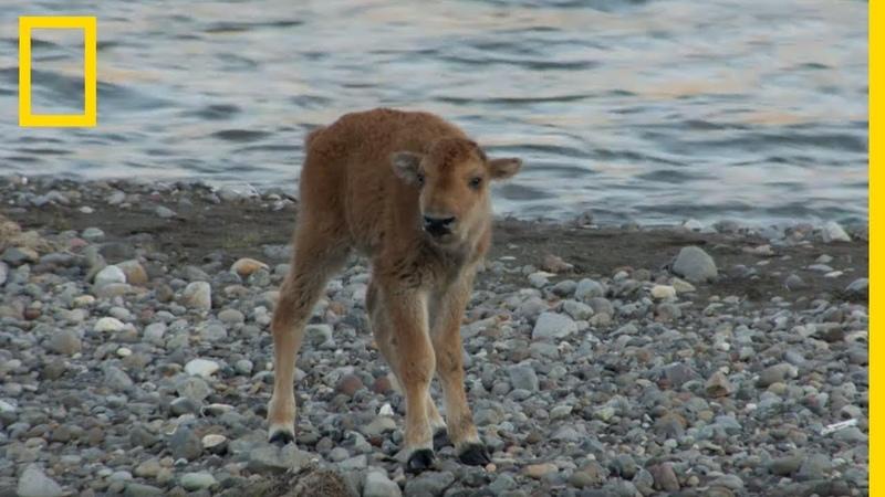 Un bébé bison se bat contre un loup et arrive à le chasser