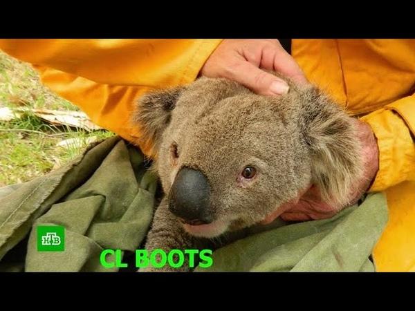 Половина популяции коал погибла в австралийском заповеднике из-за пожара