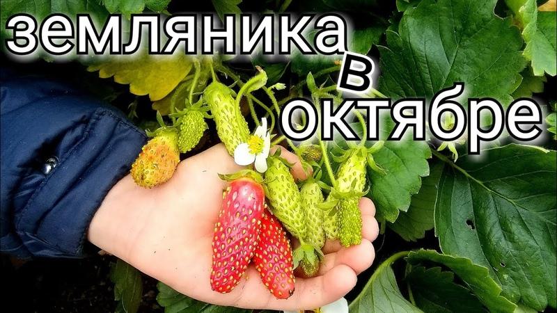 Подготовка земляники крупноплодной(клубники) к ЗИМЕ/ ОКТЯБРЬ/strawberry thegarden