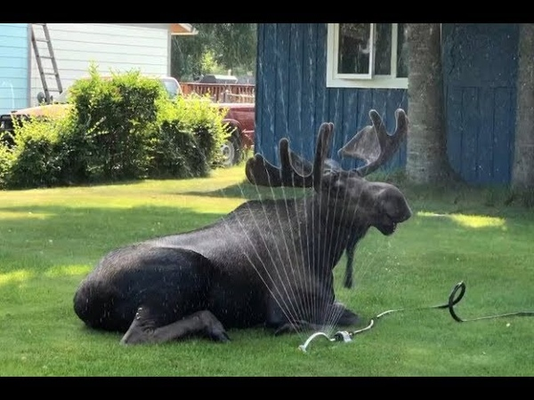 Moose beats the heat with homeowners sprinkler | World News
