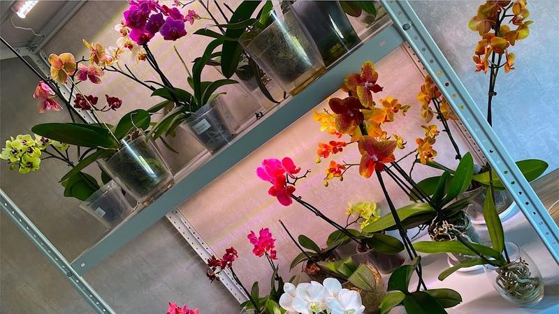 ОРХИДЕИ ОСВЕЩЕНИЕ светильники и стеллажи для орхидей и когда отключать подсветку ОРХИДЕЯМ