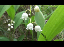 Ducklings and gulls Lily of the valley