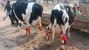 Australian cow Cow Cow farm Zoo Network