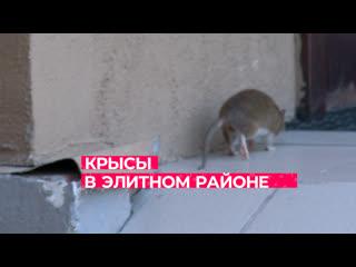Крысы в элитном районе / Тюмень