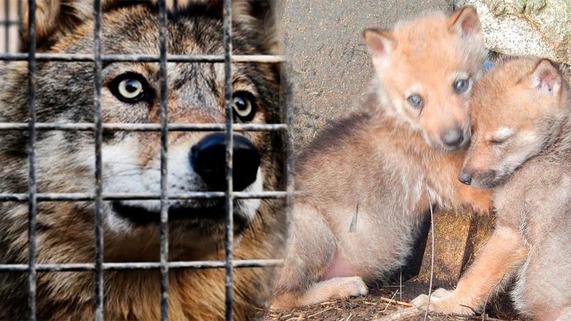 Волчица была не в силах спасти волчат из клетки и ей пришлось молить об этом человека