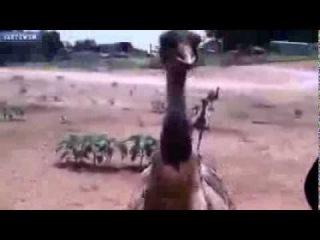 Страус напал на туристов=)))) Приколы с животными 2014=)))