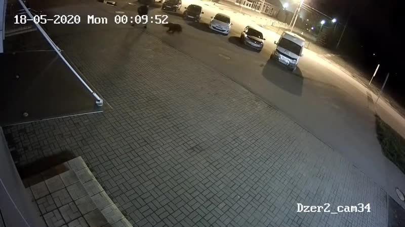 В Ярославле медведь напал на человека видео