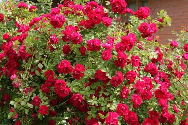 Как распознать побег шиповника у розы! Любой саженец на рынке или в питомнике, знайте, что все они привиты на шиповник. Это значит, что настанет момент, когда из-под земли появится «хозяин