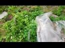 2020-Опыт выращивания помидоров, 1