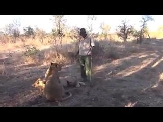 Лев чихнул ...