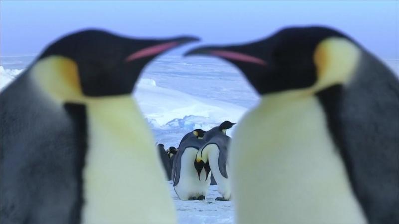 01 BBC Пингвины Шпион в стае Путешествие
