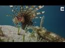 Морской огурец Synapta maculata