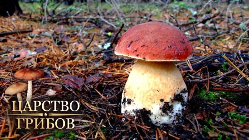 Морозостойкие грибы Царство грибов