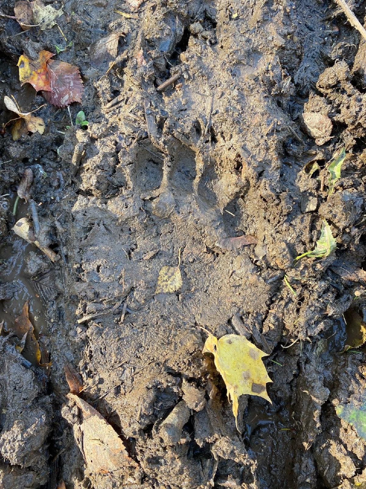 В районе деревни Трактор можгинцы заметили следы
