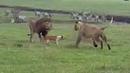 Собаки в деле! Собака против медведя, змеи, львов, грабителей