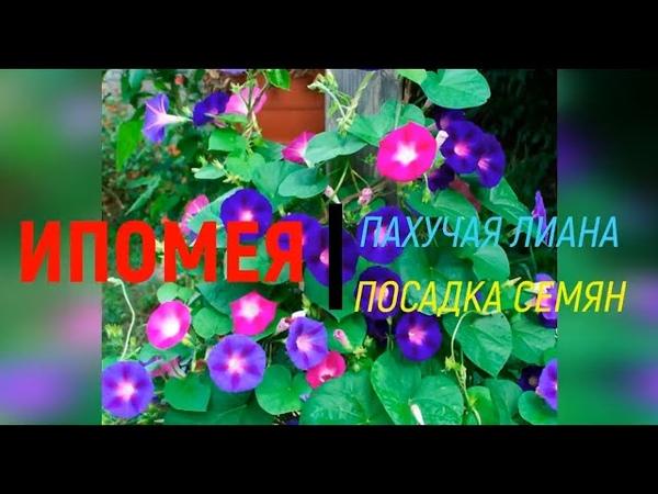 Ипомея Ipomoea пахучая лиана посев семян