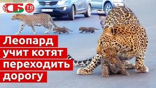 Леопард учит котят переходить дорогу