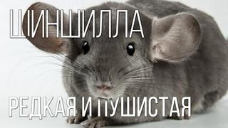 ШИНШИЛЛЫ: Самые пушистые домашние питомцы   Интересные факты про шиншилл и домашних животных