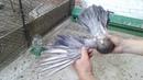 Мои мраморные цветные николаевские голуби.