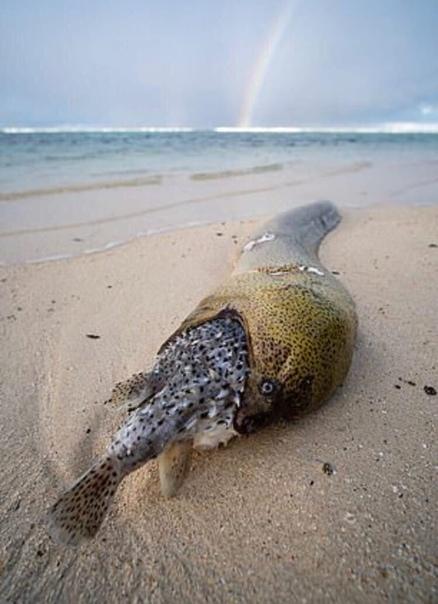 Рыбак обнаружил весьма странную находку. Полутораметровый угорь попытался полакомиться рыбой Фугу, она надулась в его пасти и убила их