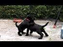 Hundewelpen B Wurf Zwergschnauzer von Stormarn HD